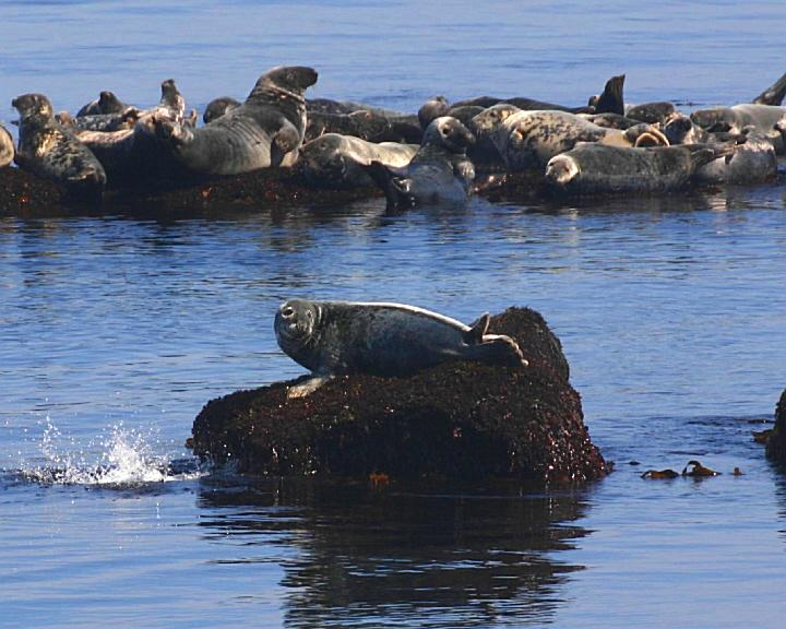 Brier Island Lodge- Seals